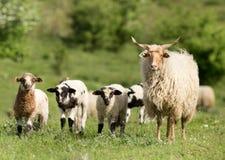 绵羊家庭 库存图片