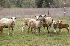 绵羊家庭 免版税库存照片