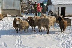 绵羊小群在一个农村家庭的家庭的 库存照片
