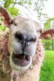 绵羊尖叫 免版税库存图片