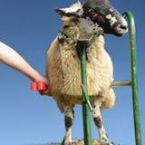 绵羊展示preperation 库存图片