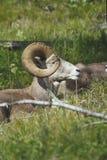 羊属canadensis,落矶山脉大垫铁绵羊, Ram 免版税库存图片