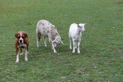 绵羊山羊和站立在动物农场中的一只平安的牛头犬 库存照片