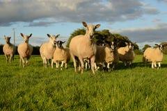 绵羊巡逻 库存照片