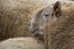 绵羊市场 免版税库存图片