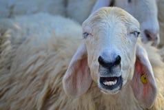 绵羊微笑 图库摄影