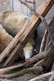 绵羊掩藏 免版税库存图片