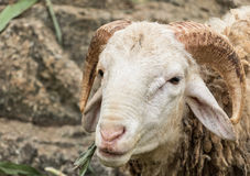 绵羊是毛茸美丽的 图库摄影