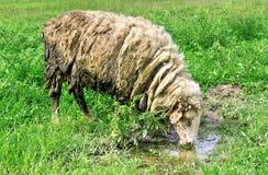 绵羊是饮用水 库存照片