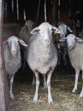 绵羊槽枥 图库摄影