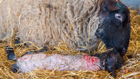 绵羊母羊在诞生以后舔她的羊羔 免版税库存照片