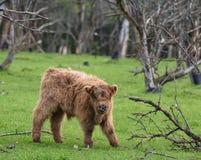 羊毛内衣的母牛小牛 免版税库存图片