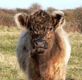羊毛内衣的母牛 图库摄影