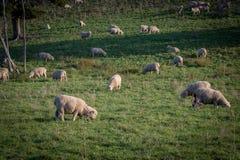 羊毛农场在新西兰 库存照片
