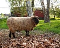 羊毛制的绵羊 库存图片