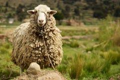 羊毛制绵羊在乡下 免版税图库摄影