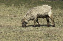 羊毛制绵羊在牧场地 免版税库存照片