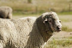 羊毛制绵羊在牧场地 免版税库存图片