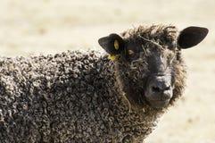 羊毛制绵羊在牧场地 库存图片