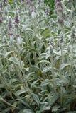 羊毛制hedgenettle笔直词根与桃红色花的 免版税库存照片