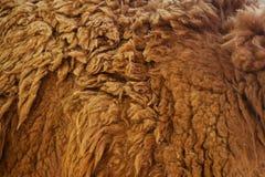 羊毛动物喇嘛的纹理 库存照片