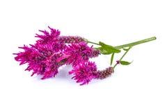 羊毛花,鸡冠花Argentea L var cristata L Kuntze孤立 库存图片