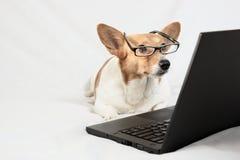 羊毛衫威尔士小狗佩带的玻璃和看膝上型计算机 免版税库存图片