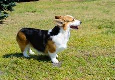 羊毛衫威尔士小狗在草站立 库存图片