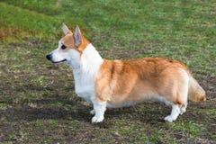 羊毛衫威尔士小狗外形 库存照片