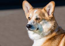 羊毛衫威尔士小狗画象 免版税库存图片
