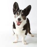羊毛衫威尔士小狗 免版税库存照片