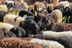 羊毛绵羊待售 图库摄影