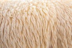 羊毛绵羊 免版税库存照片
