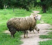绵羊照顾并且产小羊 库存图片