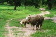 绵羊照顾并且产小羊 库存照片