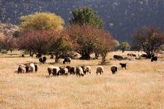 绵羊牧场地 库存照片