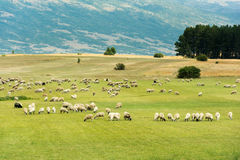 绵羊牧群在一个绿色领域的 免版税库存照片