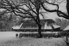 绵羊牧群在冬天期间的 免版税库存照片