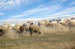绵羊牧群在冬天牧场地的 库存照片