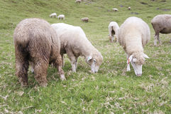 绵羊牧群在山坡的 免版税库存图片