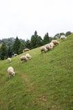 绵羊牧群在山坡的 库存照片