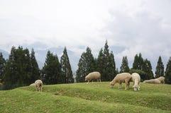 绵羊牧群在山坡的 免版税图库摄影