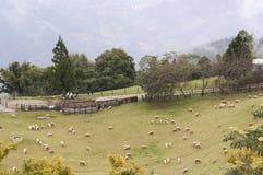 绵羊牧群在山坡的 图库摄影