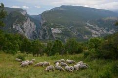 绵羊牧群在峡谷维登锐边的  免版税库存照片
