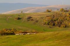 绵羊牧群在秋天光的 免版税库存图片