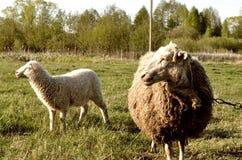 绵羊牧群在美丽的绿色草甸的 库存图片