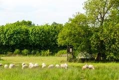 绵羊牧群在草甸 库存图片