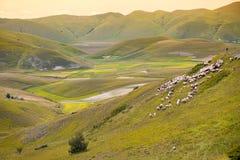绵羊牧群在重创的钢琴,翁布里亚,意大利的 库存图片