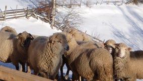 绵羊牧群在雪的 免版税图库摄影