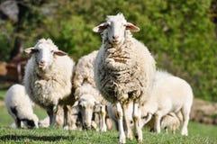 绵羊牧群在绿色牧场地 免版税库存照片